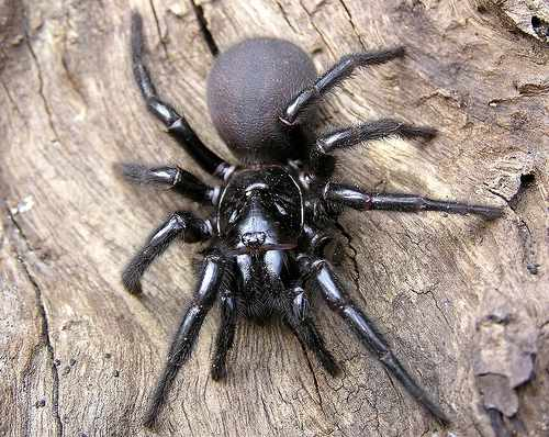 Top 5 Deadliest Spiders in the World
